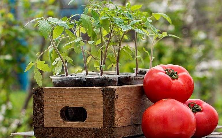 Чем я подкармливаю рассаду помидоров.