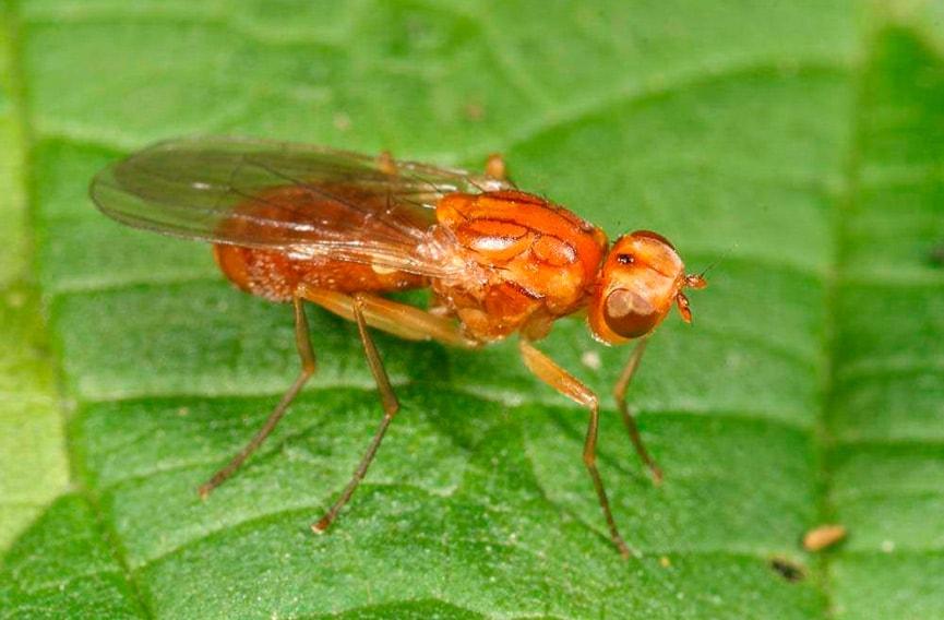 7 способов избавиться от морковной мухи. Избавляемся от надоедливых вредителей навсегда!