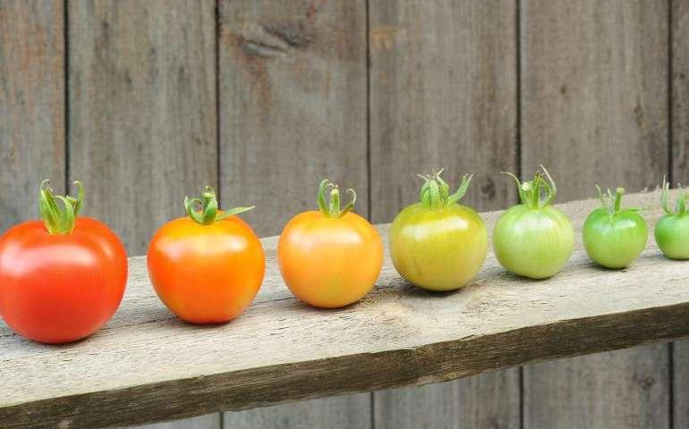 Как дозреть помидоры дома? – 4 простых способа