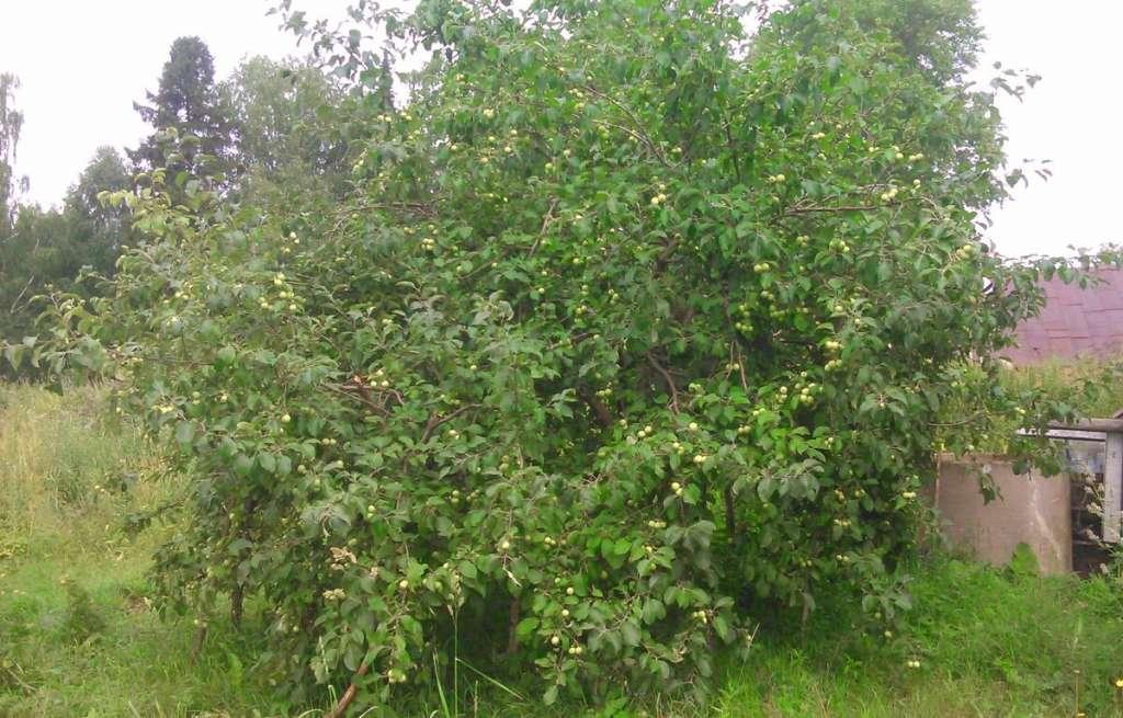 Как поливать яблони? Молодые и взрослые деревья