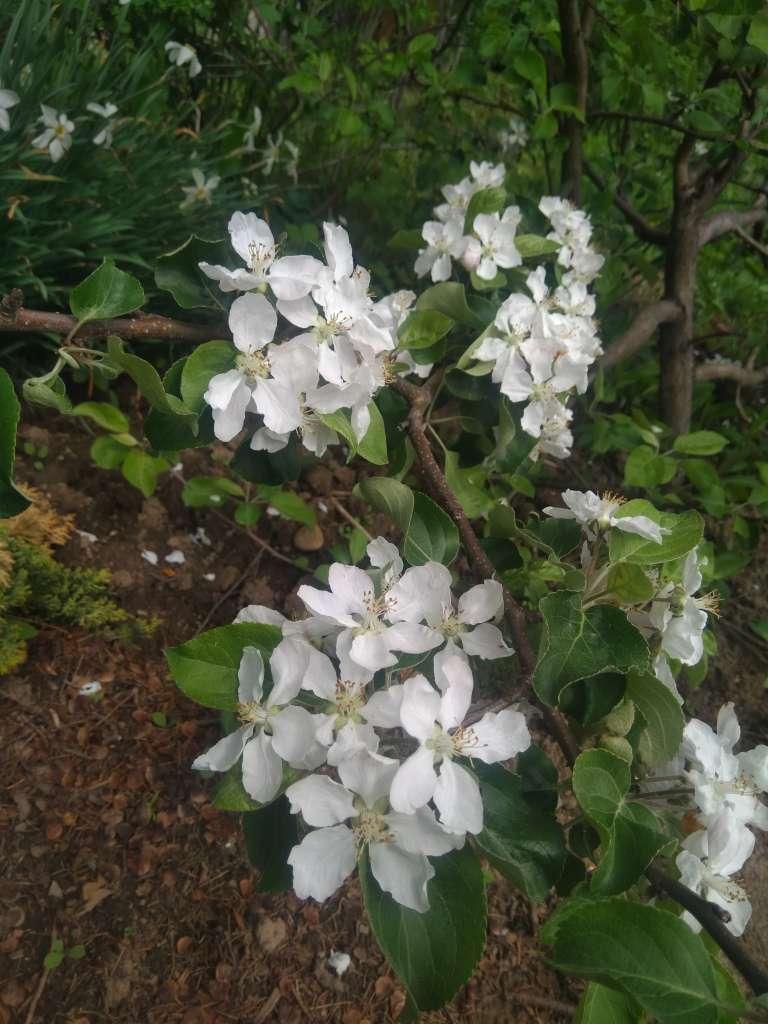 Почему на яблоне нет цветов? – 5 распространенных причин