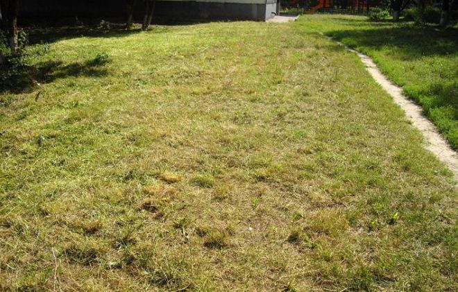 Почему желтеет газон? – 4 главных причины и их решения