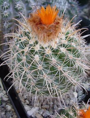 Кактус с закругленными колючками. Интересные факты о кактусах.