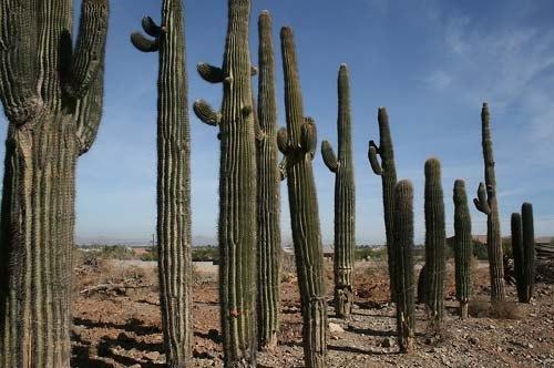 Интересные факты о кактусах - Карнегия.