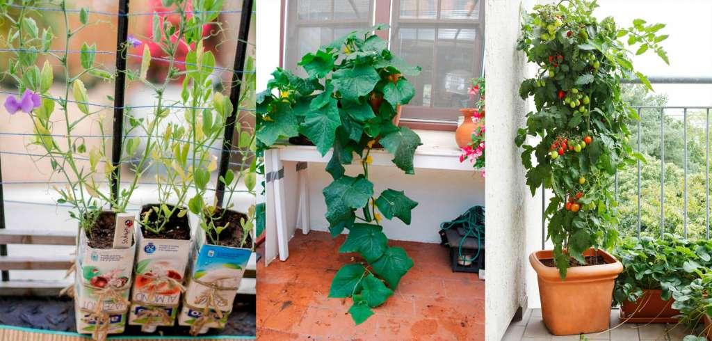Горошек, огурцы и помидоры - овощи просто выращивать дома в горшках и контейнерах.