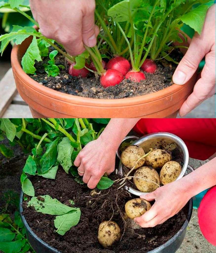 Редис и картошка - овощи просто выращивать дома в горшках и контейнерах.