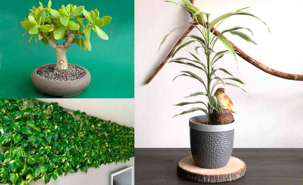 Растения удачи:Слева: Денежное дерево, Драцена. Справа: Эпипремнум.
