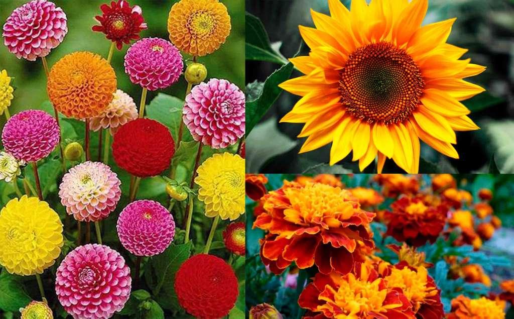 Цветы быстро растут - Слева: Циния. Справа: Подсолнечник, Бархатцы.