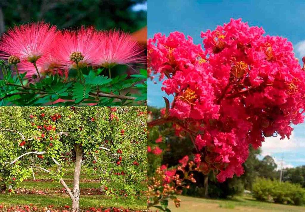 3 ароматных дерева для участка - Слева: Альбиция, яблоня. Справа: Лагерстремия.