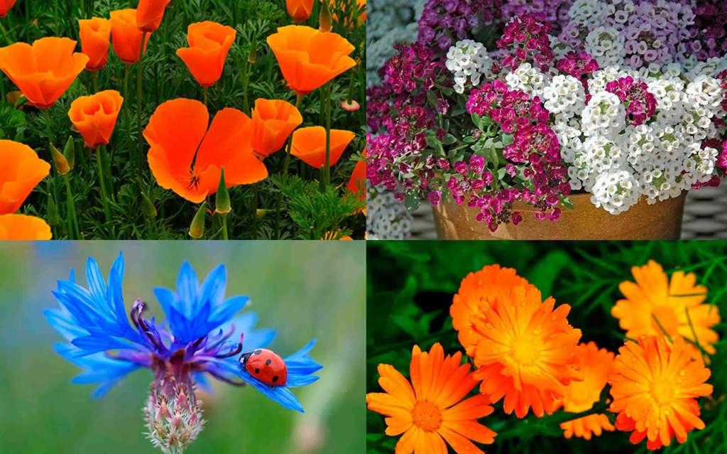 Цветы быстро растут - Сверху: Калифорнийский мак, Алиссум. Снизу: Василёк, Календула.