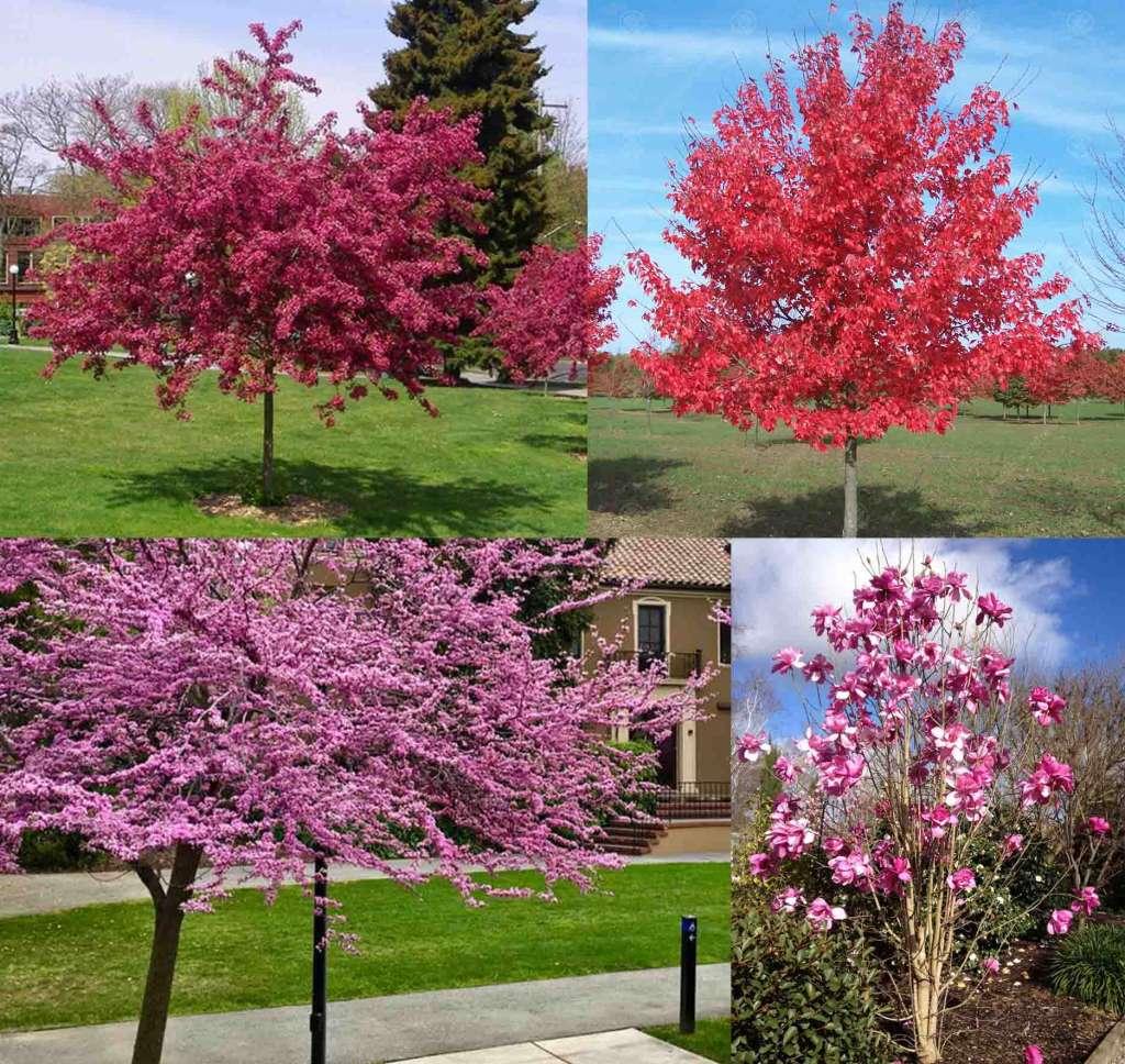 Деревья для маленького участка - Вверху: Боярышник, Японский Клен. Внизу: Багрянник, Магнолия.