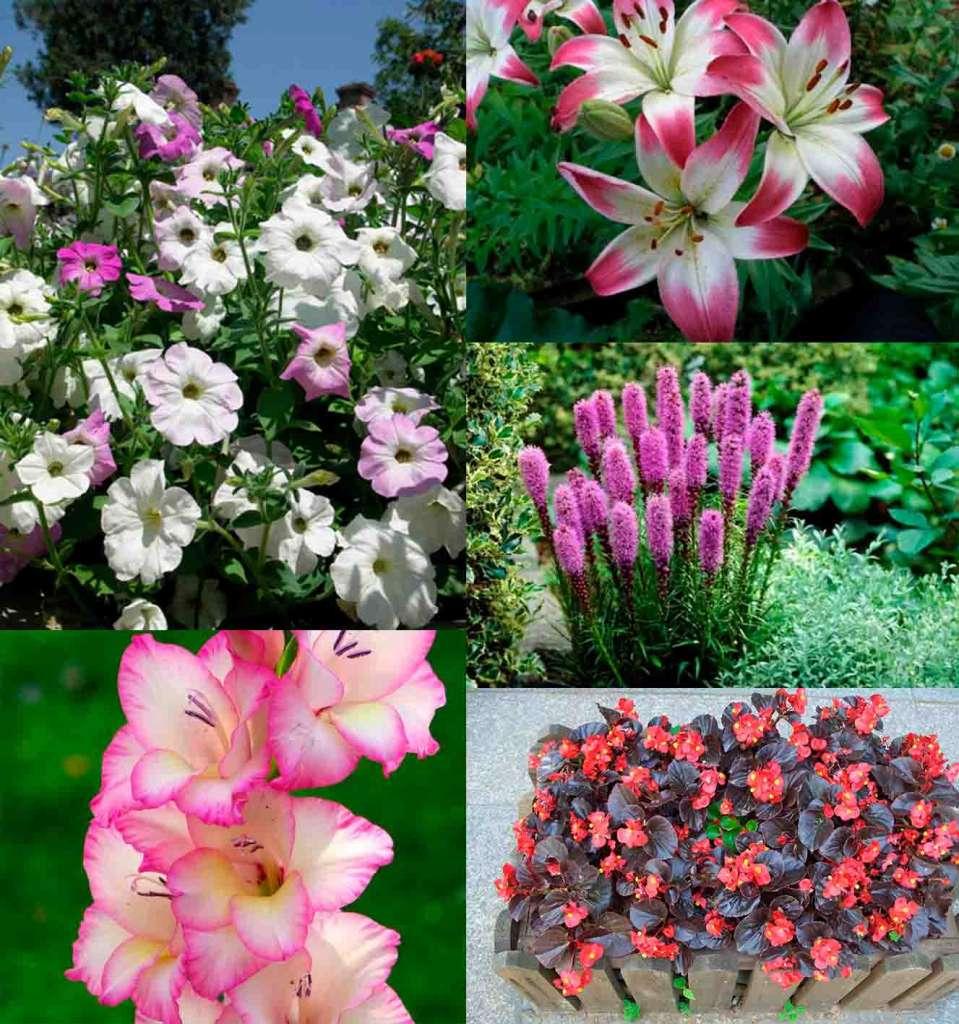 Февральские цветы, чтобы посадить - Слева: Петуния, Гладиолус. Справа: Лилия, Лиатрис, Бегония.