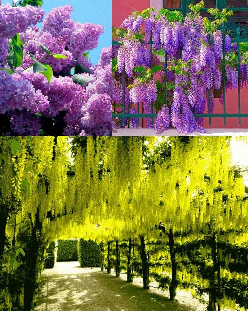 3 ароматных дерева для участка - Вверху: Сирень, Глициния. Внизу: Бобовник.