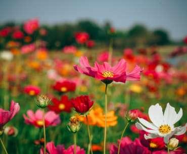 Поле ярких розовых и красных цветов. Какие цветы быстро растут?