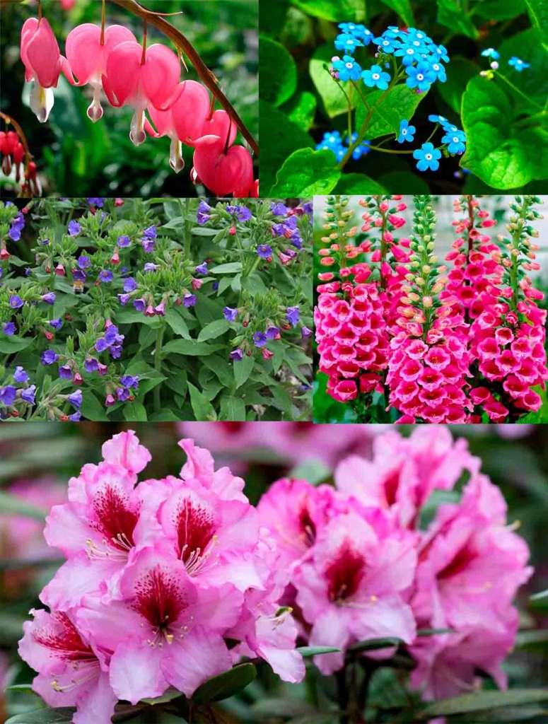 Какие цветы растут в тени? Вверху: Дицентра, Бруннера. Посередине: Медуница, Наперстянка. Внизу: Рододендрон.