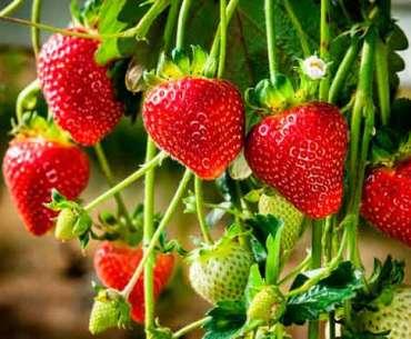 Что посадить с клубникой, чтобы собрать богатый урожай.
