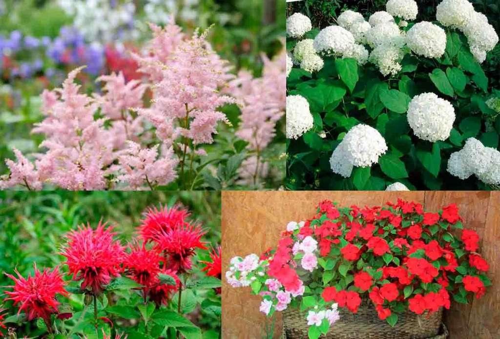 Какие цветы растут в тени?Вверху: Астильба, Гортензия. Внизу: Монарда, Недотрога.