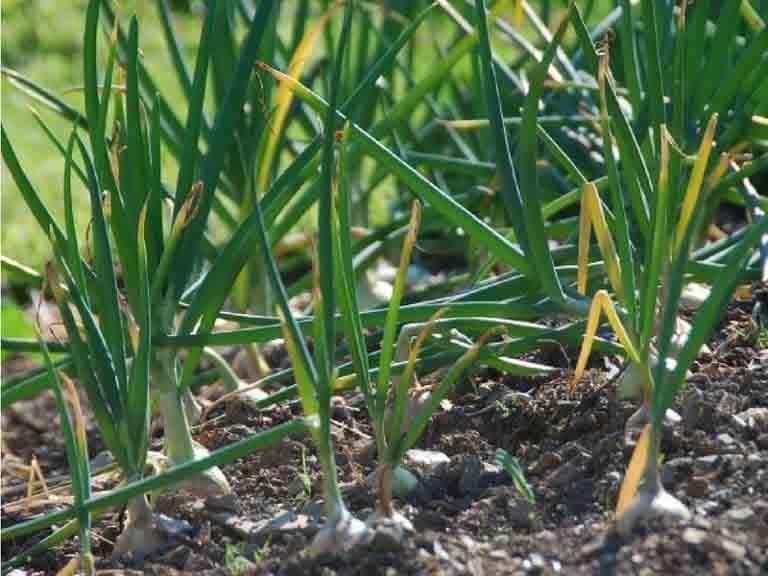 Грядка с чесноком. Что посадить после чеснока.