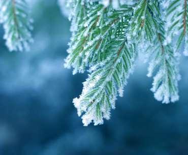 Елки в снегу. Почему некоторые растения не погибают мой?