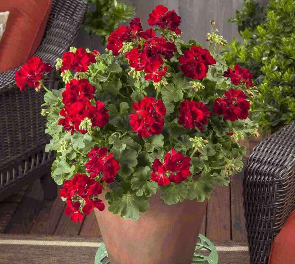 Горшок с красной геранью - как добиться цветения герани весь год.