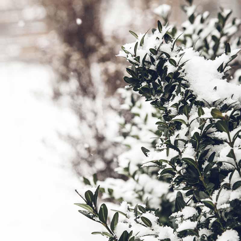 Деревья и кусты под снегом. Почему растения не погибают зимой?