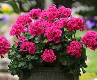 Пышное цветение розовой герани. Как заставить цвести герань.