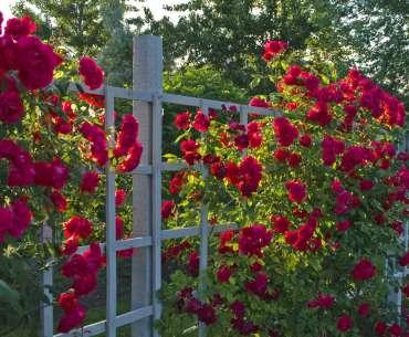 Розы в тени. Цветы растущие в тени.