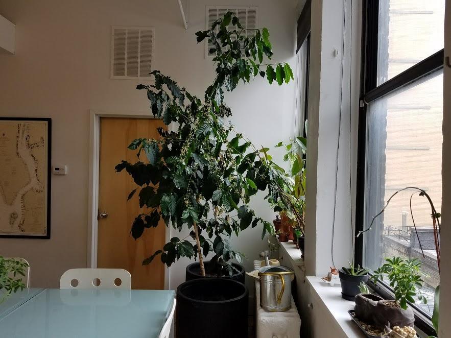 Как вырастить кофейное дерево в домашних условиях. РАстение кофе дома.