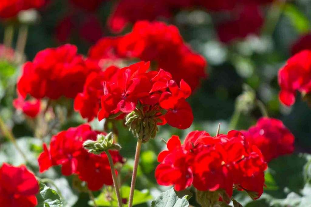 Красная герань на солнце - как заставить цвести герань.