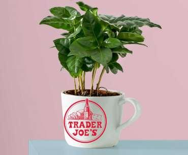 Выращивание растения кофе дома в уроке. Как вырастить кофейное дерево в домашних условиях.