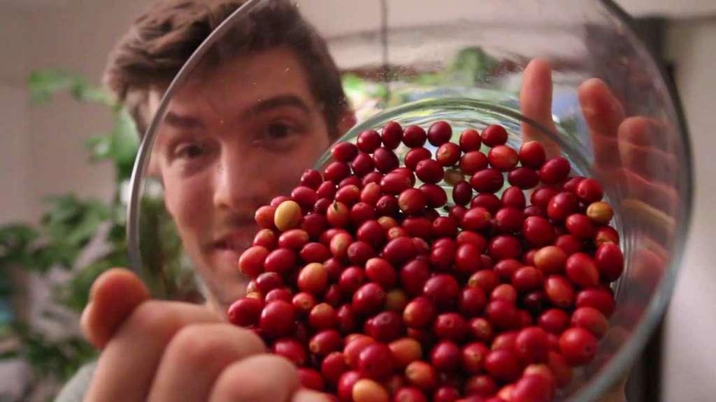 Миска с ягодами кофе; выращивание кофейного дерева в домашних условиях.