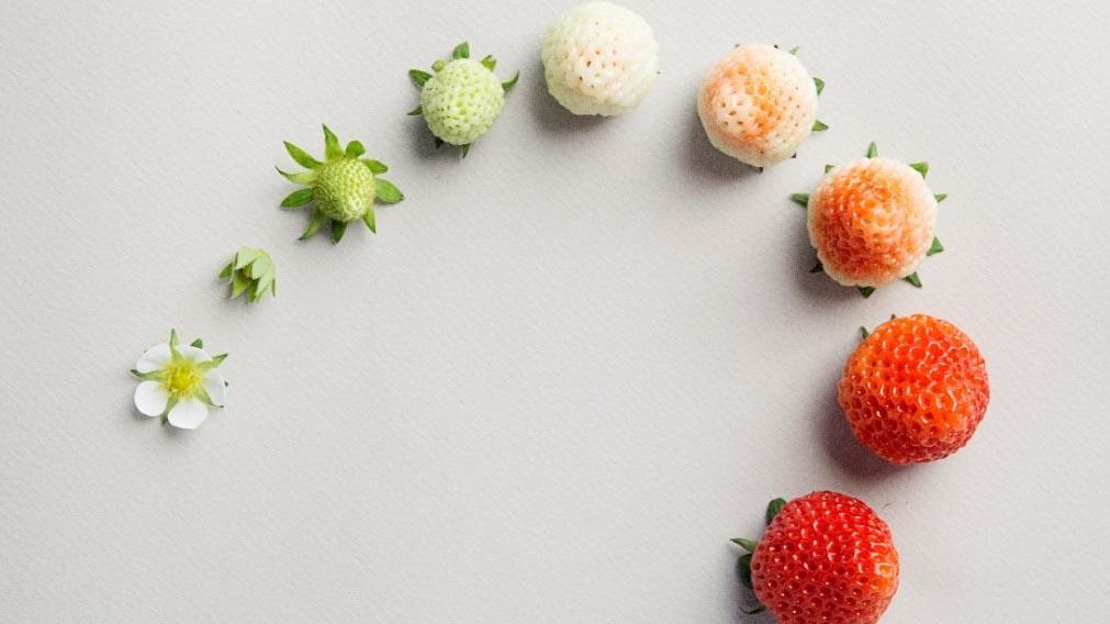 Процесс роста клубники от цветка до сладкой ягоды. Что посадить с клубникой.