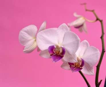 Розовая орхидея на розовом фоне. Какой водой поливать орхидею? Лучшая вода для полива орхидей в домашних условиях