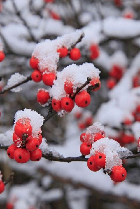 Красные ягоды рябины в снегу. Почему некоторые растения не погибают зимой?