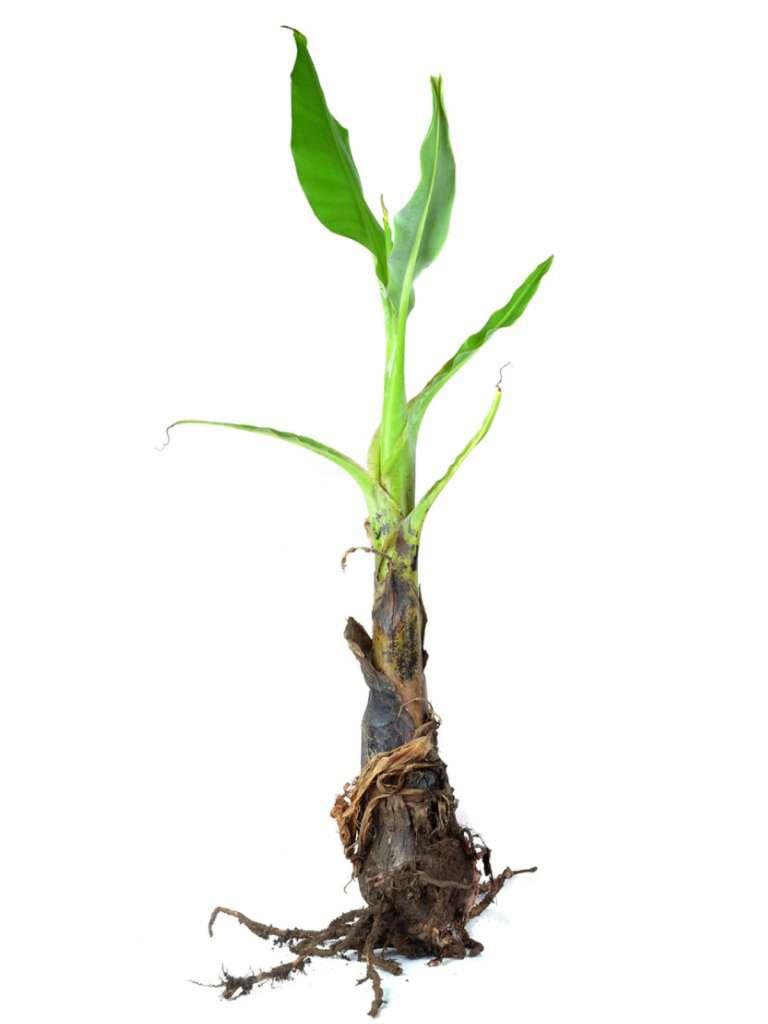 Корни банана. Как посадить банан в домашних условиях.