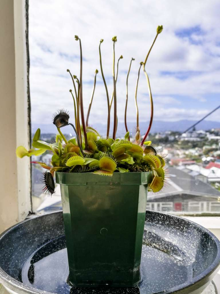 Растение у окна в поддоне - полив снизу.