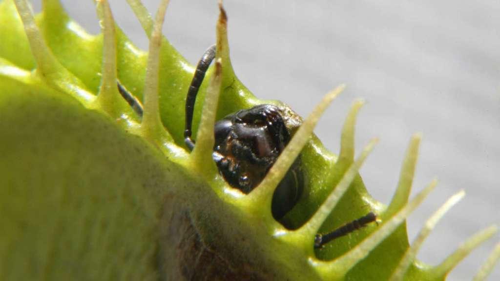 Муха в ловушке - как кормить венерину мухоловку в домашних условиях.