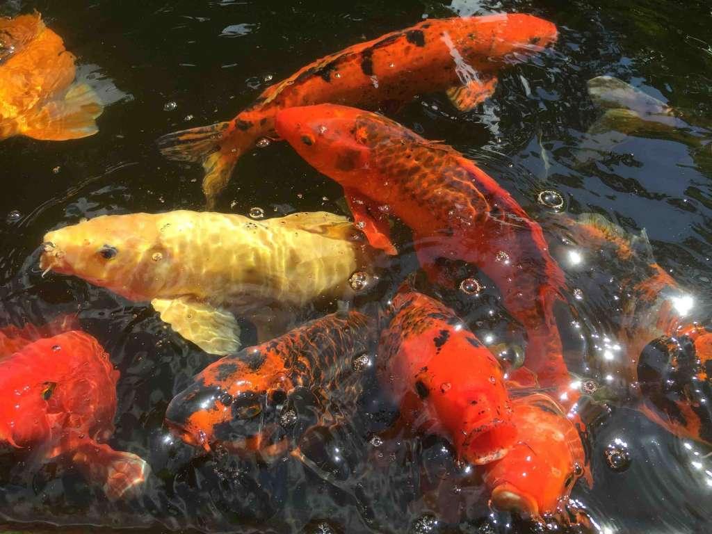 Рыбки для пруда в японском саду.