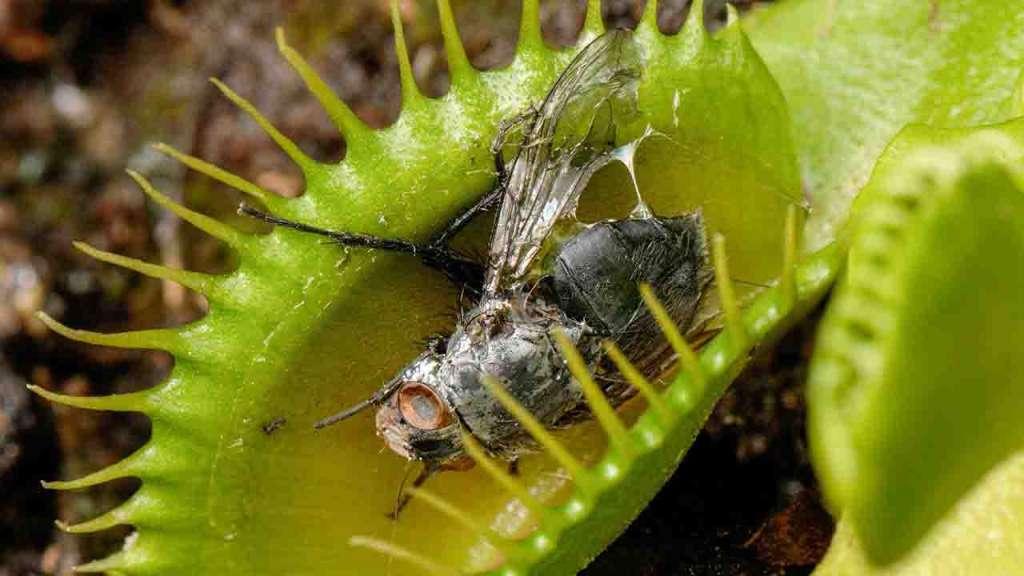 Муха в ловушке. Как кормить венерину мухоловку в домашних условиях.