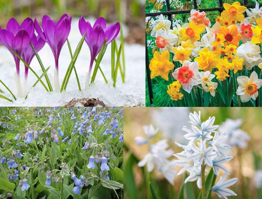 Майские цветы: крокусы, нарциссы, пушкиния, мертензия.