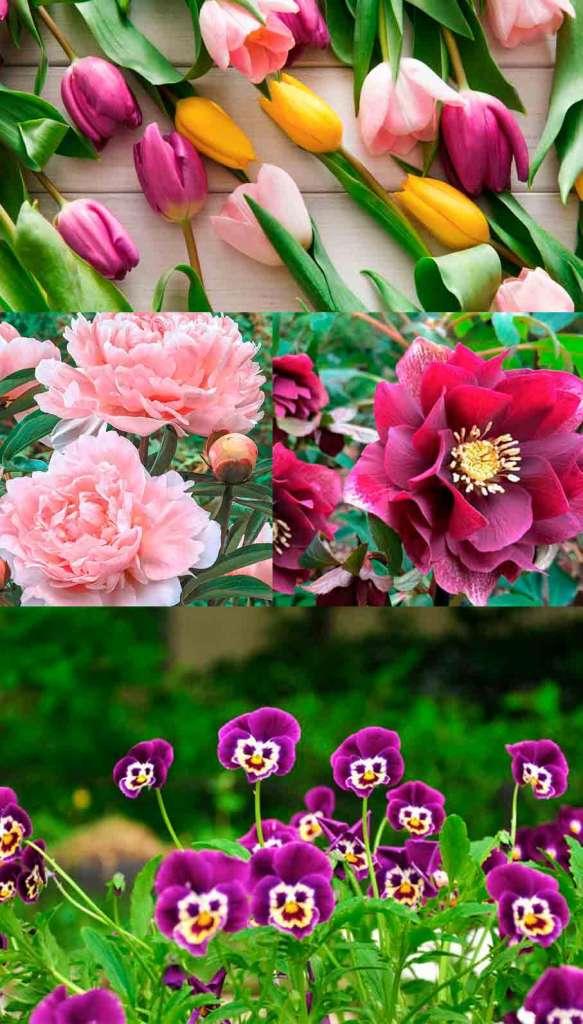 Майские цветы: тюльпаны, пионы, морозник, анютины глазки.