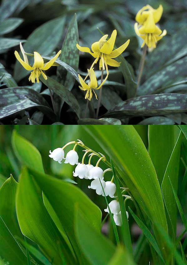 Майские цветы: ландыш и Кандык американский