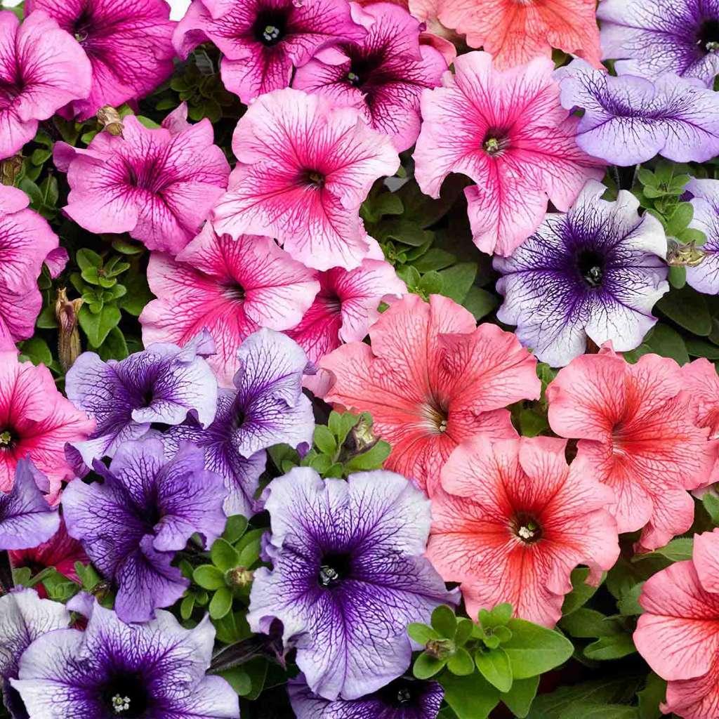 Разноцветная петуния - как быстро растет петуния?