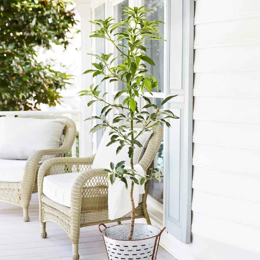 Дерево авокадо - как быстро растет авокадо?