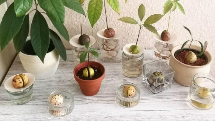 Косточка в стакане. Как быстро растет авокадо в домашних условиях?