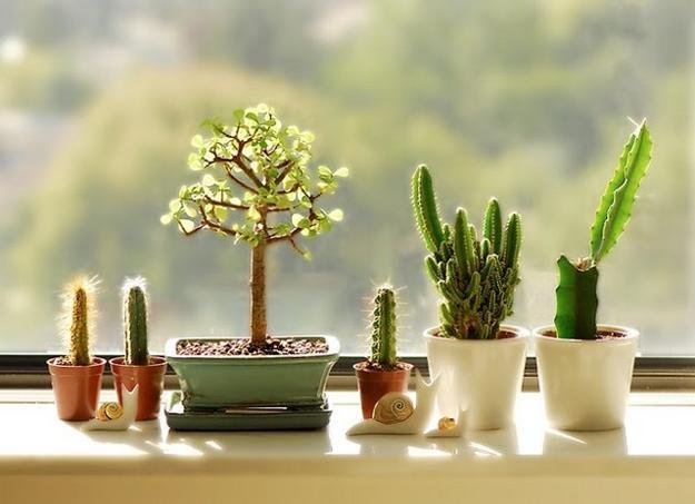 Маленькие кактусы в горшке. Удобрения для кактусов.