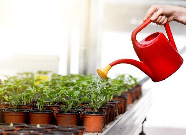 Какой водой поливать рассаду дома.