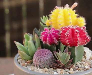 Яркие цветные кактусы. Удобрения для кактусов.