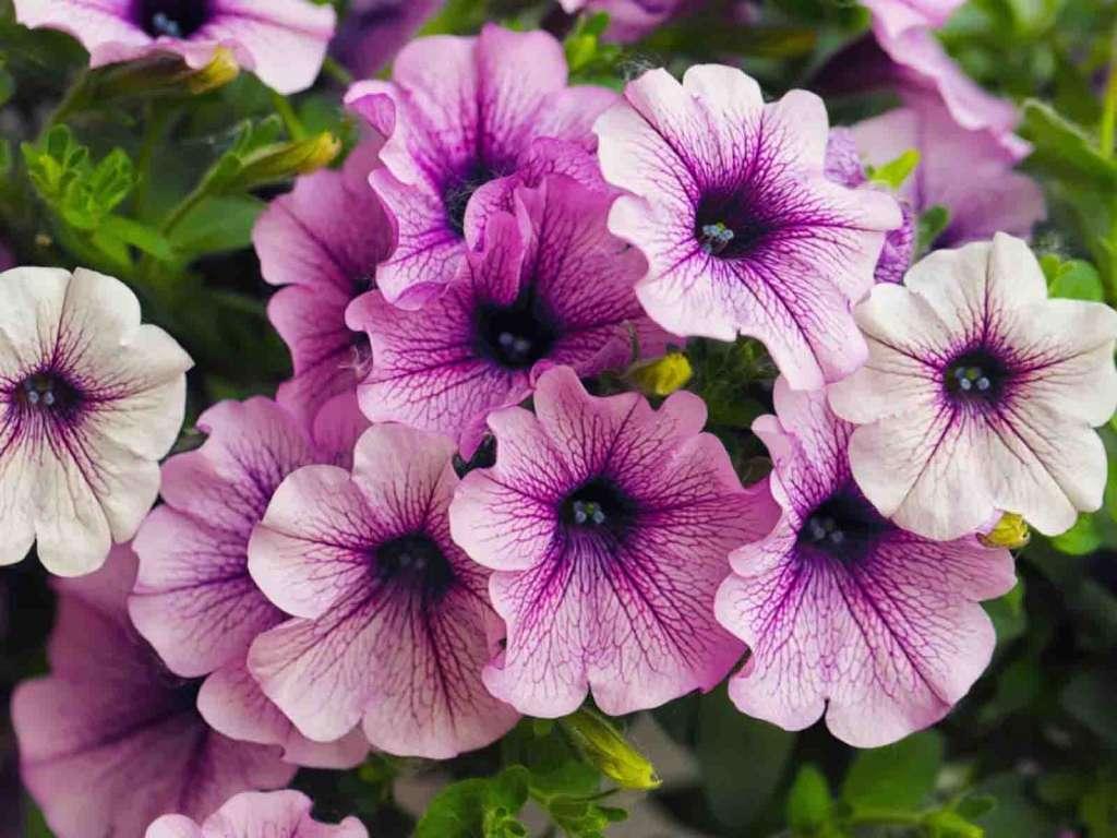 Фиолетовая петуния - как быстро растет петуния?
