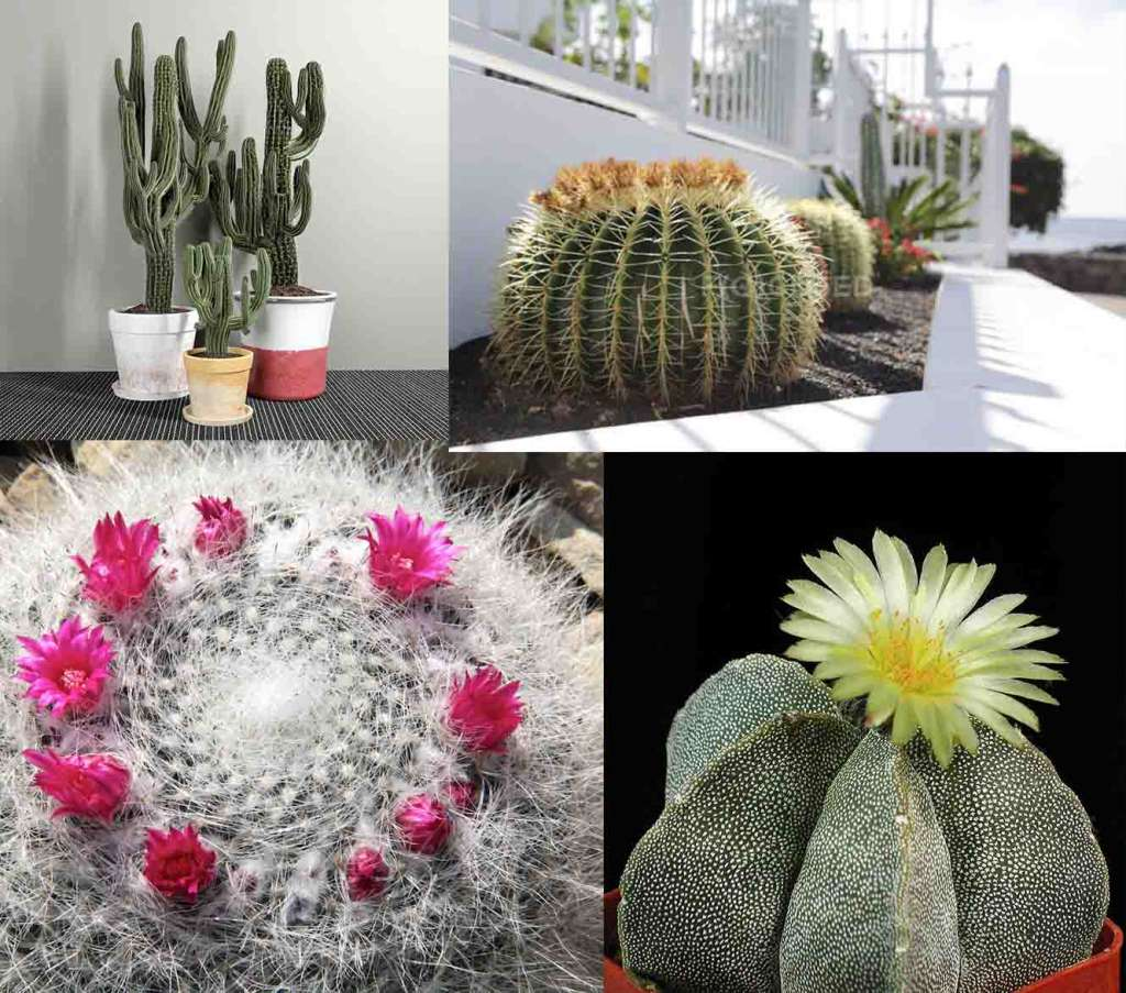 Карнегия, Маммилярия, Астрофитум, Золотой кактус Барреля - одни из самых неприхотливых кактусов для дома.